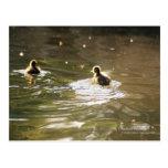 Mallard Ducklings Post Cards