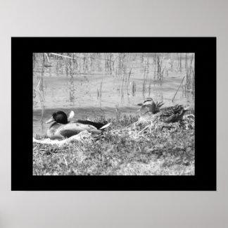 Mallard Ducks - Black & White Poster