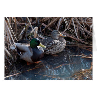 Mallard Ducks -Frameable Art Cards