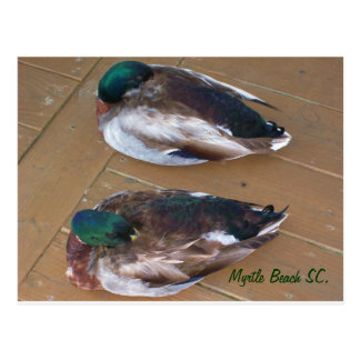 Mallard Ducks laying on the dock Postcard