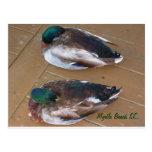 Mallard Ducks laying on the dock Postcards