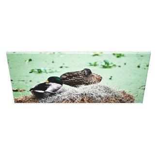 Mallard Ducks Nesting Canvas Print