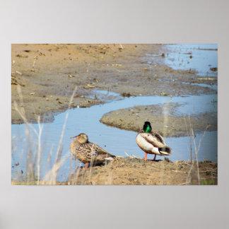Mallard Ducks Photo Poster