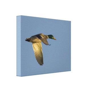 Mallard Flying in Open Sky Wrapped Canvas Print