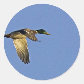 Mallard flying round sticker