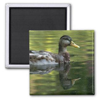 Mallard Mirrored On Green Water 2 Inch Square Magnet