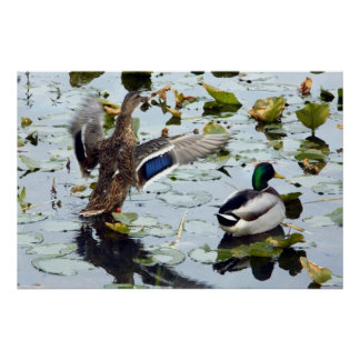 Mallard Pair in the Lily Pads Poster