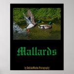 Mallard Take-off Poster