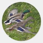 Mallards Flying Classic Round Sticker