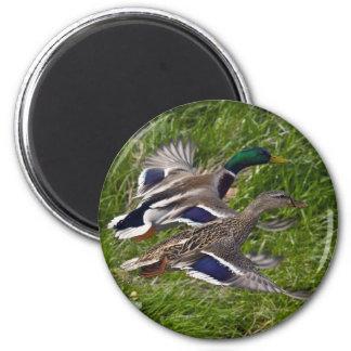 Mallards Flying Magnet