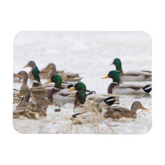 Mallards in wetland in winter magnet