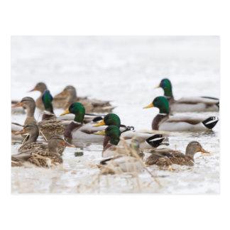 Mallards in wetland in winter postcard