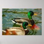 Mallards On the Pond Print
