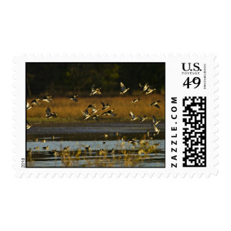 Mallards rising from water postage