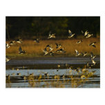 Mallards rising from water postcard