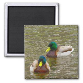 Mallards swimming 2 inch square magnet