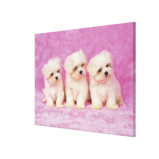 Maltese Dog; is a small breed of white dog that 2 Canvas Print