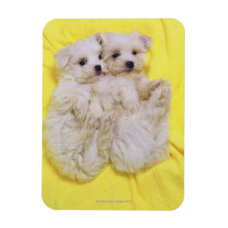 Maltese Dog; is a small breed of white dog that 2 Magnet