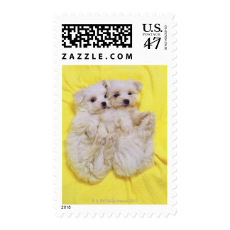 Maltese Dog; is a small breed of white dog that 2 Postage