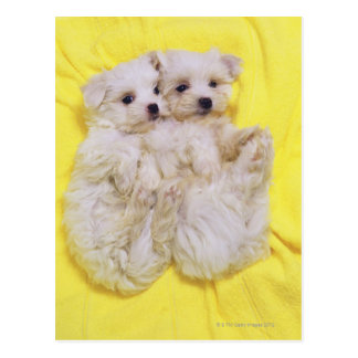 Maltese Dog; is a small breed of white dog that 2 Postcard