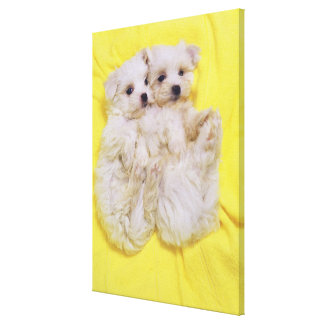 Maltese Dog; is a small breed of white dog that Canvas Print