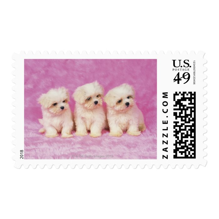 Maltese Dog; is a small breed of white dog that Postage