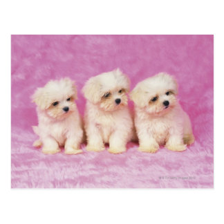 Maltese Dog; is a small breed of white dog that Postcard