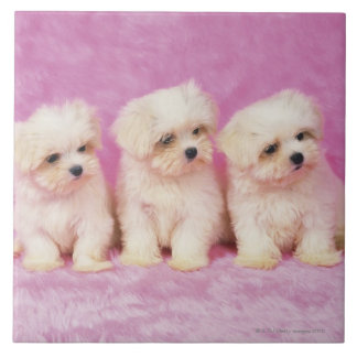 Maltese Dog; is a small breed of white dog that Tile