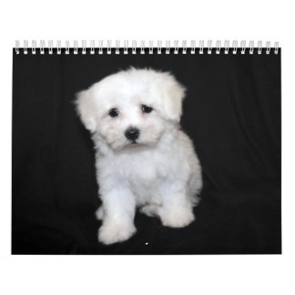 Maltese Maltipoo Puppy Calendar