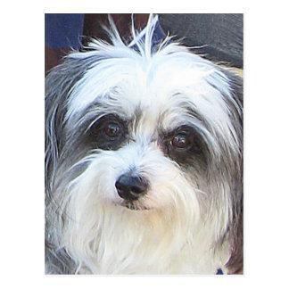 Maltese Poodle Dog Postcard
