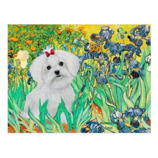 MALTESE pup - Irises Postcard