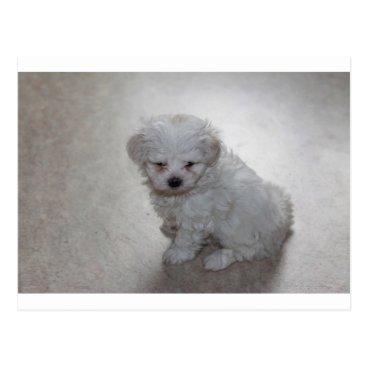 Beach Themed maltese pup postcard
