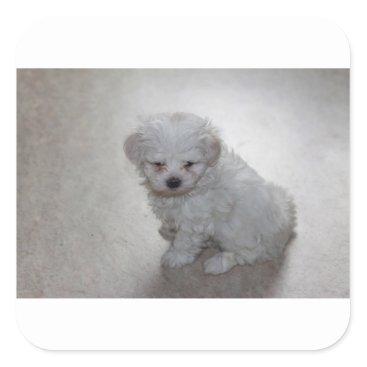 Beach Themed maltese pup square sticker