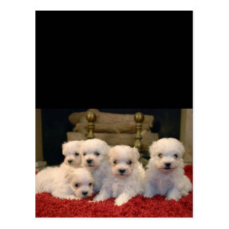 Maltese Puppies for Puppy Lovers Everywhere Postcard