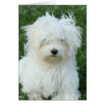 Maltese Puppies Greeting Card