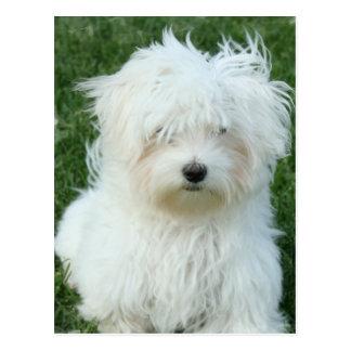 Maltese Puppies Postcard