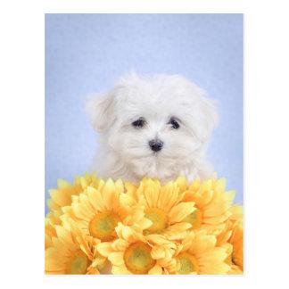 Maltese puppy postcard