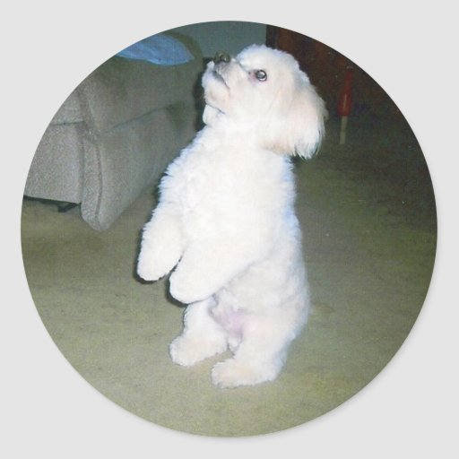 Maltese Sitting Up Stickers