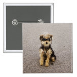 Maltese, Yorkshire terrier mix. Alberta, Canada Pinback Button