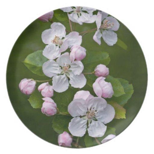 Malus Blossom Plate