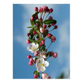 Malus Floribunda apple flowers Postcard