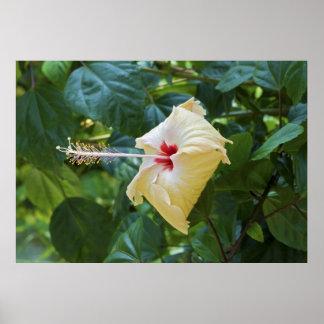 Malva color de rosa blanca de Rosa Sinensis China  Póster