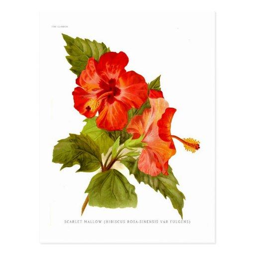 Malva del escarlata (hibiscos) postales