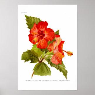 Malva del escarlata hibiscos poster