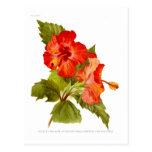 Malva del escarlata (hibiscos) tarjeta postal