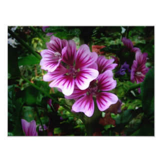 Malva Flowers ~ Photo