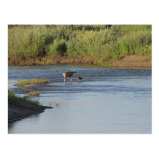 Mama and Baby Deer in a Colorado River Postcard