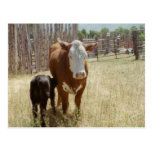 Mama Cow And Calf Post Cards