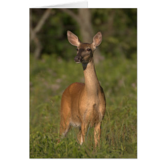 Mama Deer (Whitetail Doe) Card