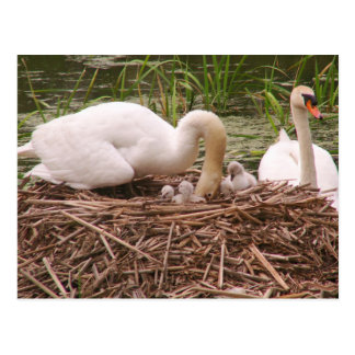 Mamá del cisne mudo, papá, y postal de los bebés